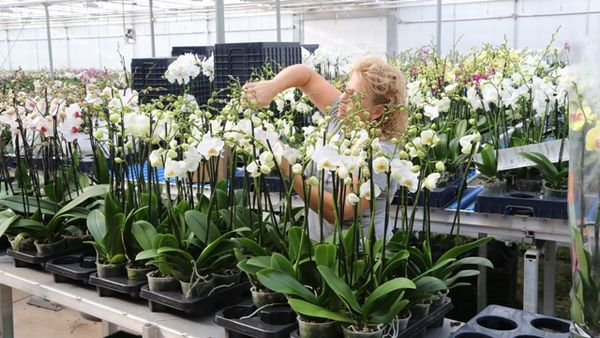 Dutch King and Queen visit Orchid Greenhouse CosMic Plants automated by Hoogendoorn