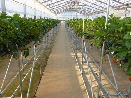 Strawberry growing, Japan Premium taste & quality