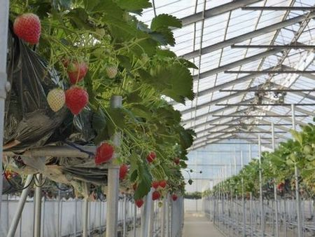 Strawberry growing, Japan Premium taste & quality