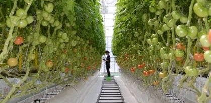 Innovative Greenhouse Project In Japan Tomato Production