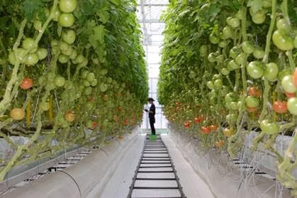Innovative Greenhouse project in Japan, tomato production of 50kg/m2 in a high-tech greenhouse