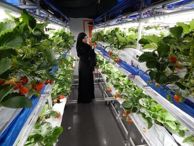 Sharp to sell high-tech strawberry indoor farming systems in UAE